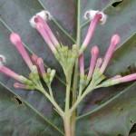 خواص گیاه گنه گنه,گیاه گنه گنه, گیاه گنه گنه چیست, عکس گیاه گنه گنه, خاصیت گیاه گنه گنه, فواید گیاه گنه گنه, نام دیگر گیاه گنه گنه