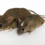 داستان حکمت آموز کوتاه(دو بازمانده از موش ها),دو بازمانده از موش ها,داستان حکیمانه کوتاه,داستان های کوتاه حکیمانه