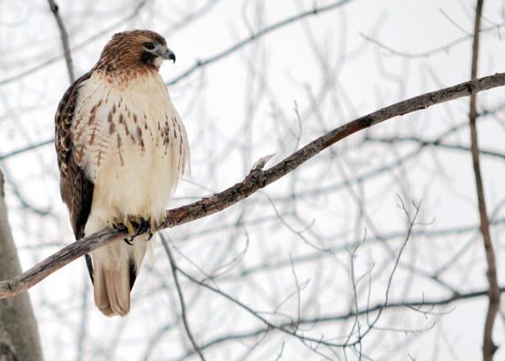 hawk-on-tree