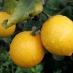 خواص میوه بالنگ,خواص داروی گیاهی بالنگ,خواص داروی گیاهی,خواص داروی گیاهی اترج
