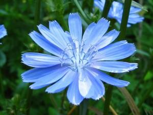 عکس گل آبی,تصاویر گل ابی,عکس گل آبی رنگ,تصویر گل ابی