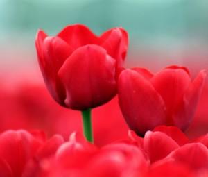 تصاویر گل با کیفیت بالا,عکس گل با کیفیت بالا,دانلود عکس گل با کیفیت بالا,عکسهای گل لاله,عکس گل لاله,تصویر گل با کیفیت بالا
