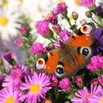 تصاویر گل و پروانه
