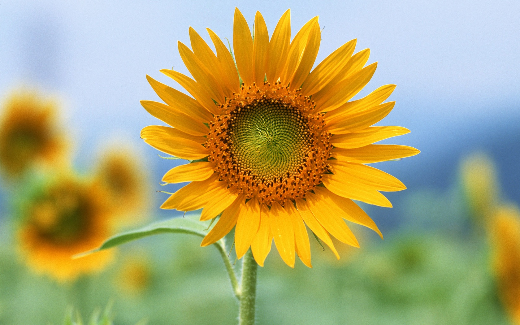 عکس گل آفتاب گردون