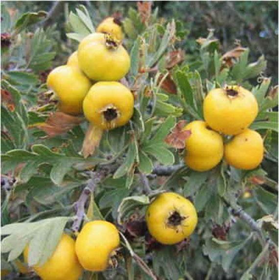 خواص دارویی گیاه زالزالک,خواص درمانی گیاه زالزالک, خواص گیاه زالزالک, خواص گیاهی زالزالک,خاصیت زالزالک,خاصیت زالزالک چیست