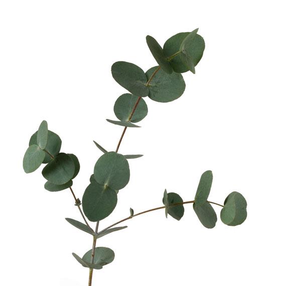 خواص گیاه اکالیپتوس,خواص گیاه اکالیپتوس, خواص درمانی گیاه اکالیپتوس, خواص داروئی گیاه اکالیپتوس,خواص گیاهی اکالیپتوس, خواص میوه اکالیپتوس,خواص درمانی گیاه اکالیپتوس
