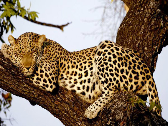 Leopard-and-sick-animals-zoo