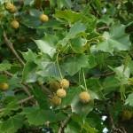 خواص گیاه چنار,خواص گیاهی عرق چنار,خواص میوه درخت چنار,خواص میوه چنار,خواص میوه درخت چنار, خاصیت عرق برگ چنار, خاصیت عرق برگ چنار چیست