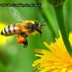 آیا زهر زنبور برای پیشگیری از سرطان فایده دارد؟,زهر زنبور, زهر زنبور عسل