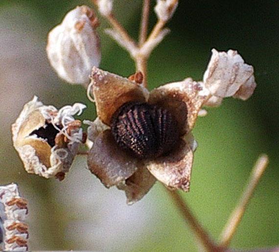 خواص دارویی گیاه چوبک,گیاه چوبک, خواص گیاه چوبک, نام علمی گیاه چوبک, عکس گیاه چوبک, کاربرد گیاه چوبک, شکل گیاه چوبک, در مورد گیاه چوبک