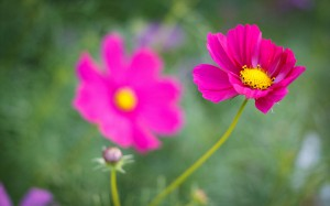 تصاویر گل های خوشگل, عکس گل خوشگل, دانلود عکس گل خوشگل, یه عکس گل خوشگل, عکس دسته گل های خوشگل, عکس خوشگل ترین گل,