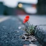 عکس از گل لاله