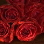 عکس از گل رز قرمز